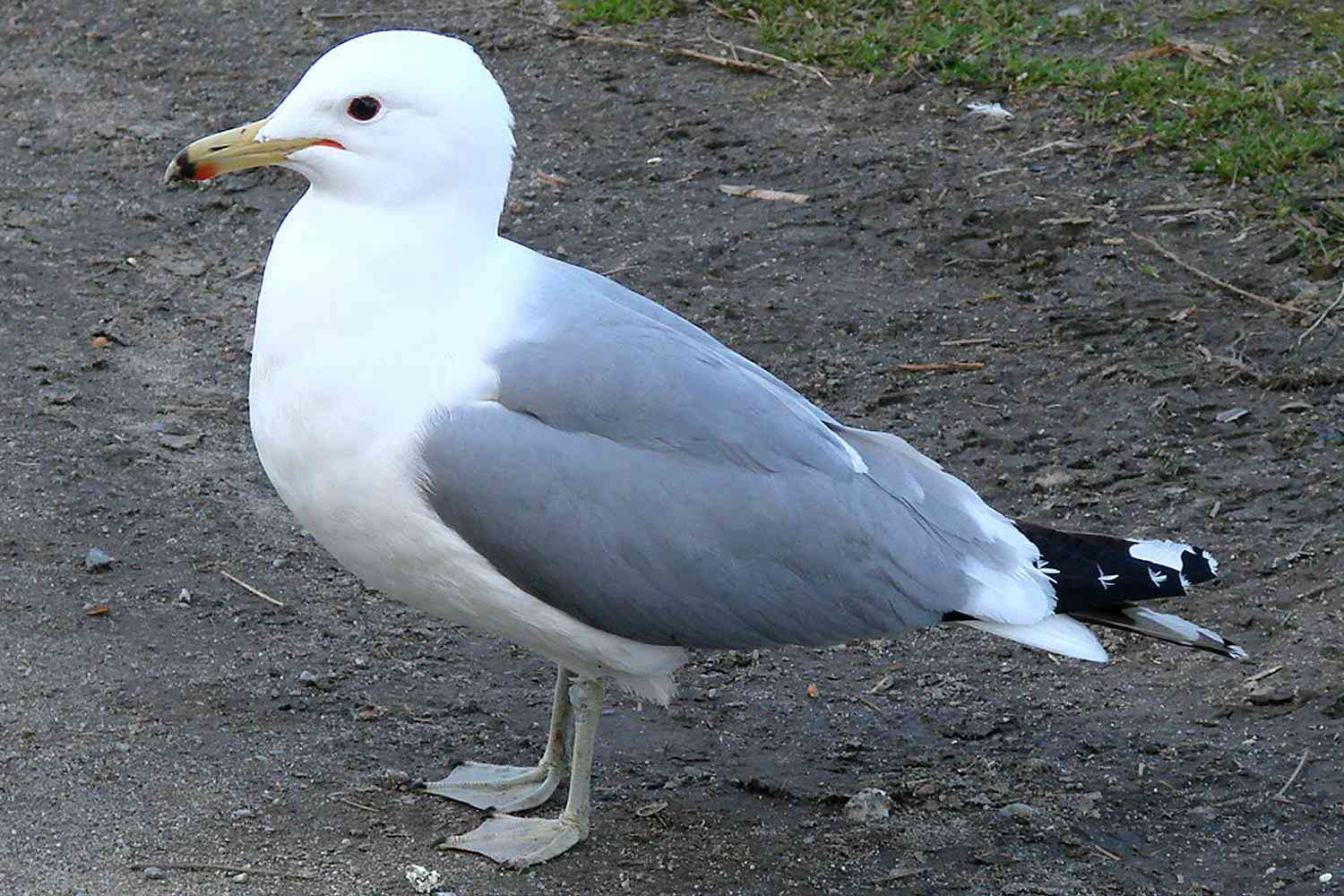 California Gull, the state bird of Utah, standing on a dirt road.
