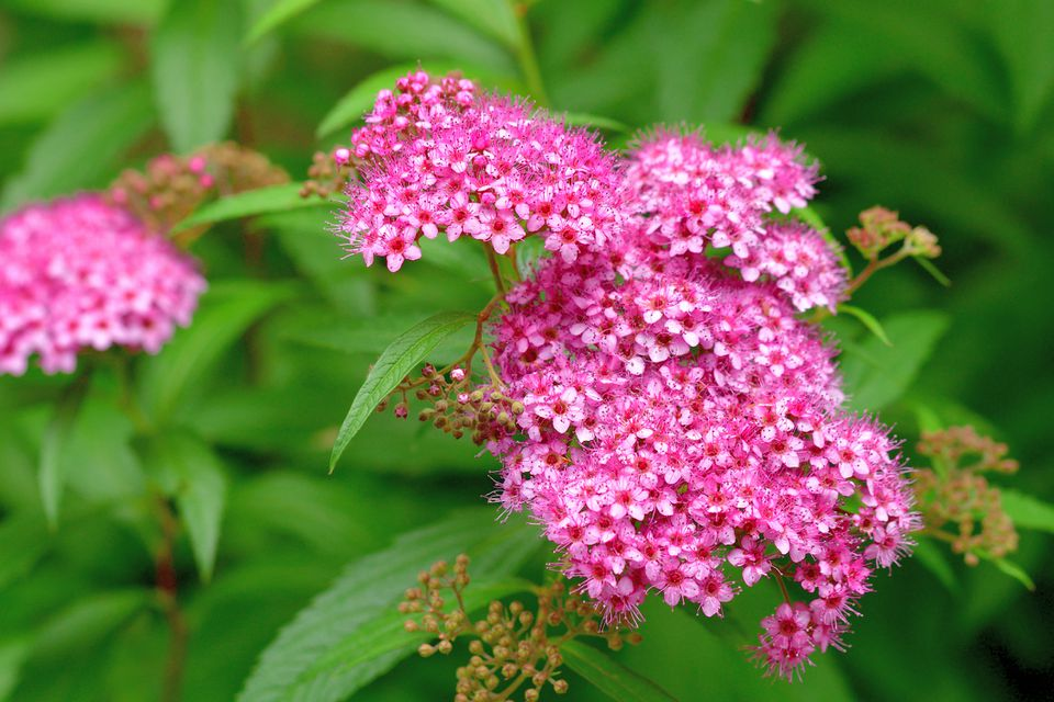 Flowers of Spiraea japonica, commonly called Japanese spirea.