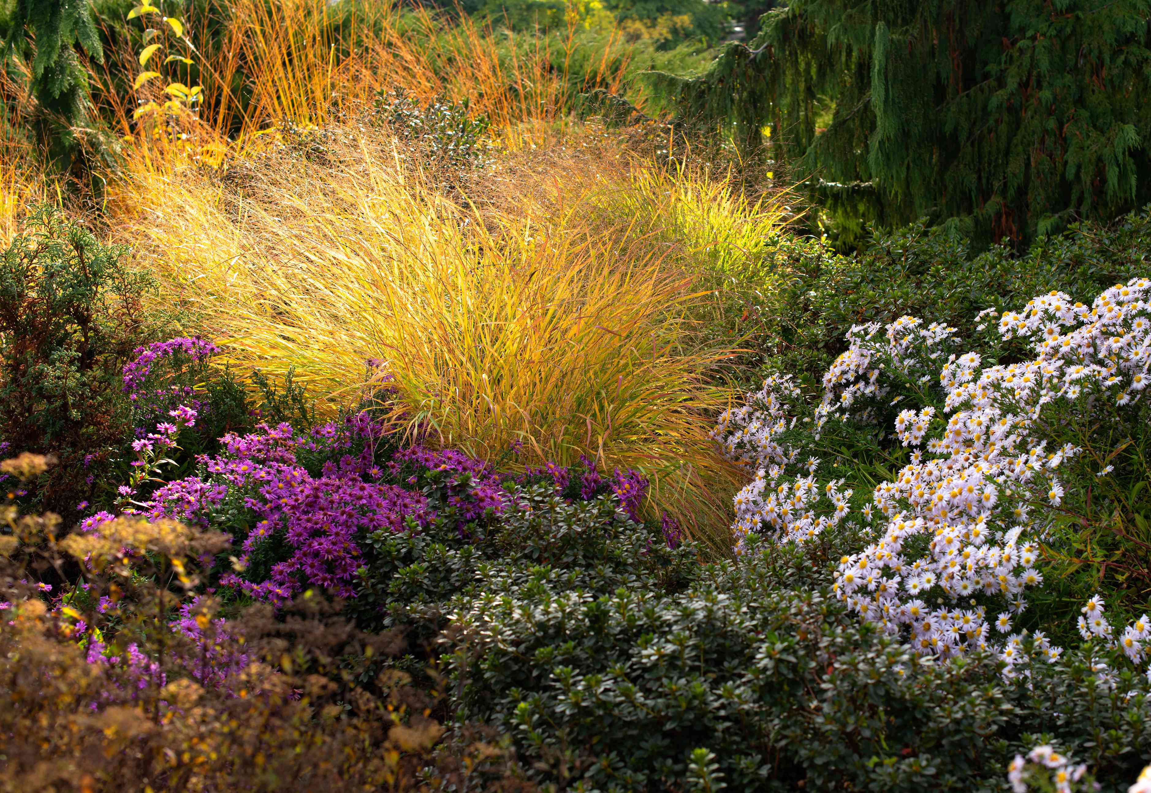 Switchgrass with bright yellow stalks in between purple and white flower bushes