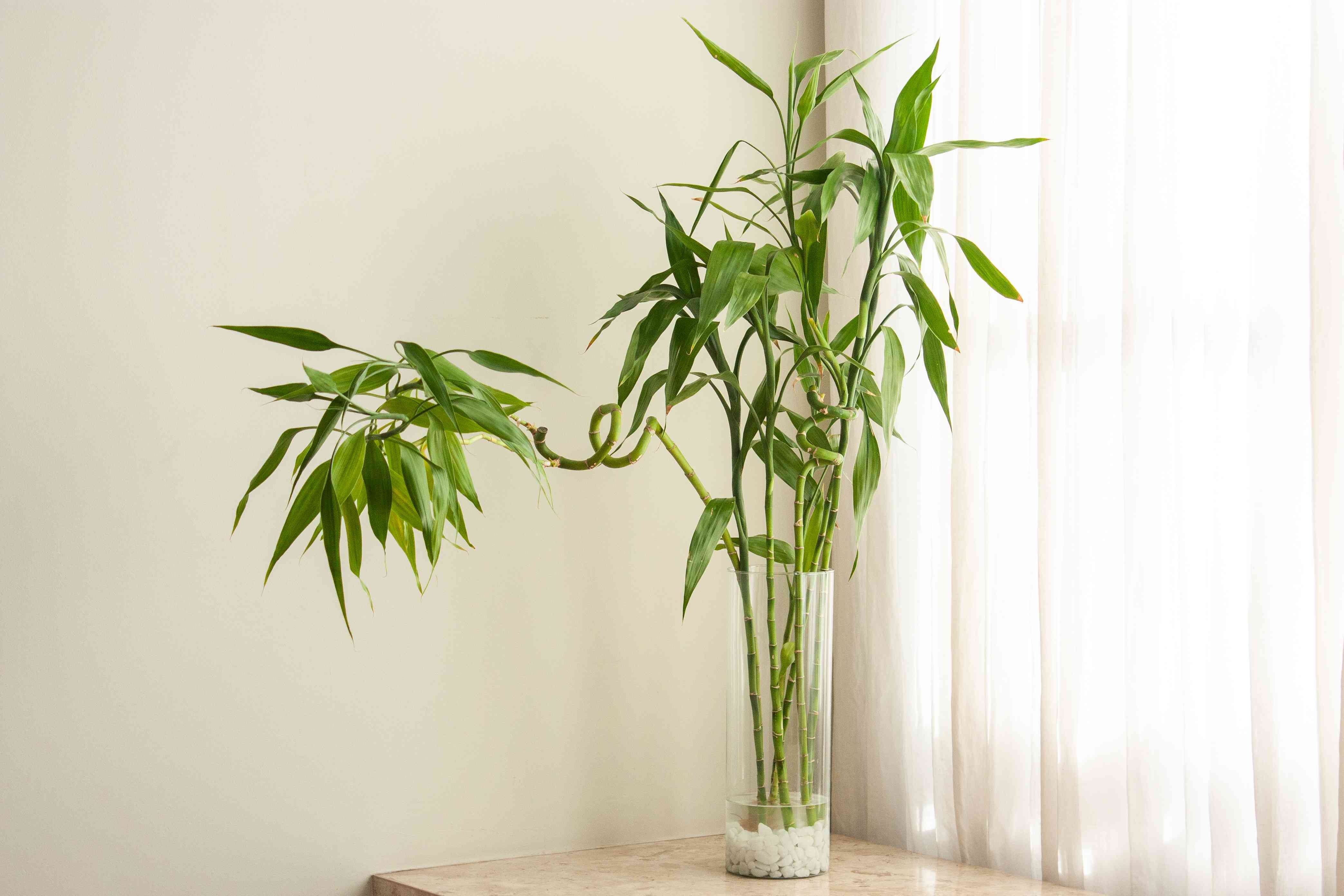 lucky bamboo in a vase tall enough to support its stalks
