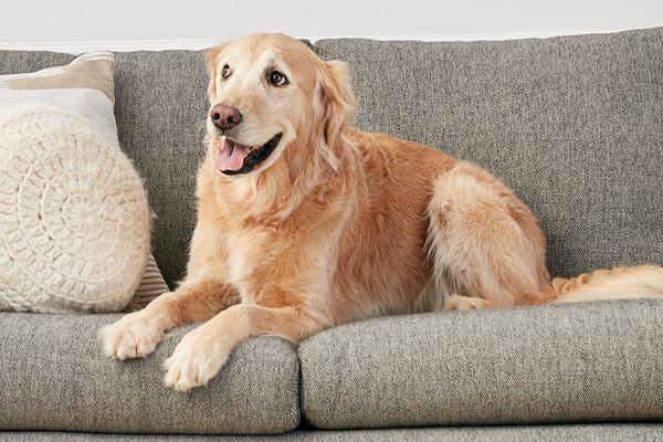 golden retriever on a sofa