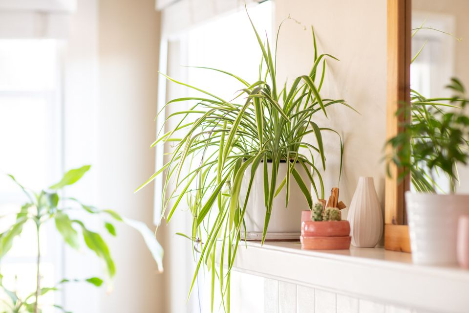 a spider plant growing on a mantel