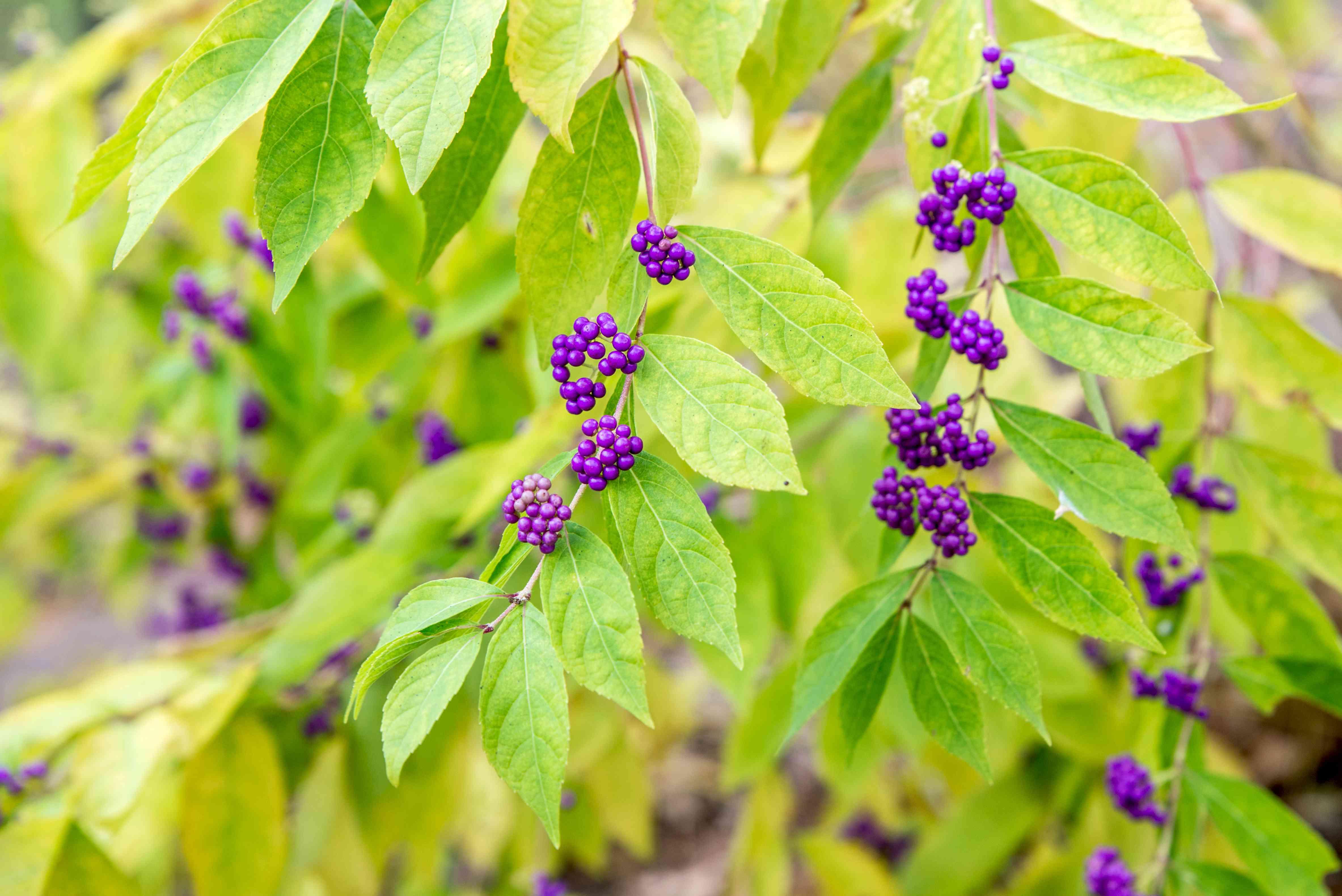 bayberry shrub