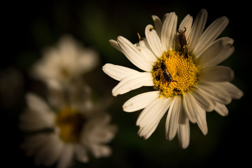 Two Earwigs on a Daisy