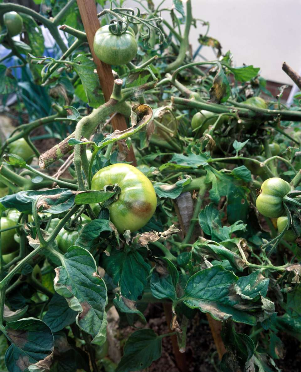 blight on tomato 'empire hybrid'
