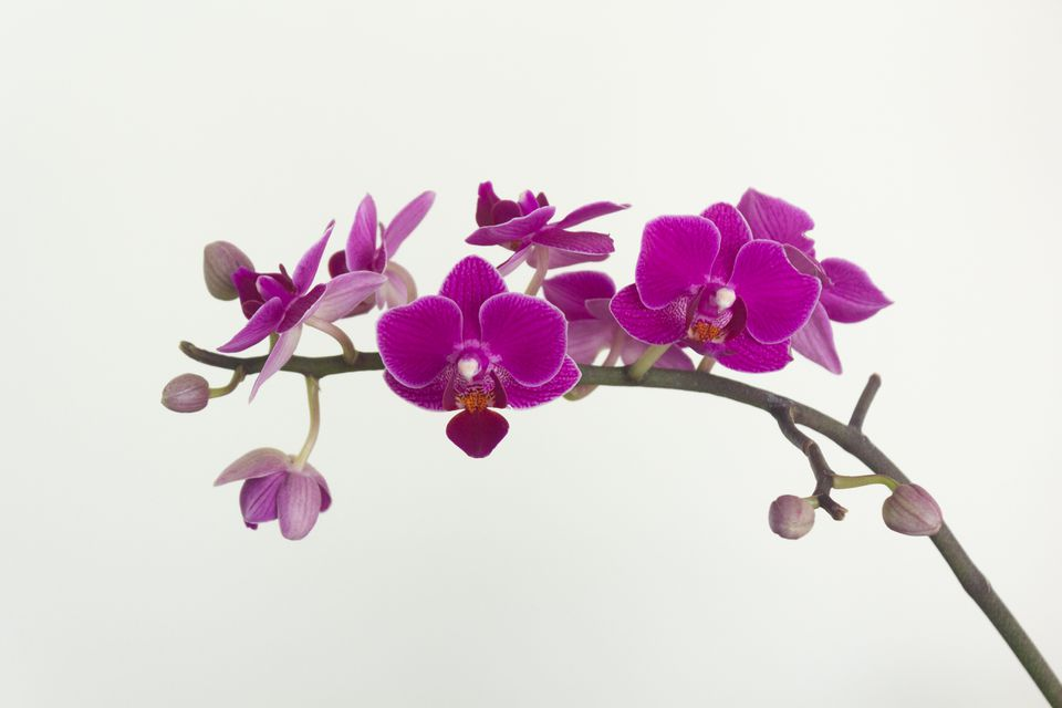 close up of a phalaenopsis orchid