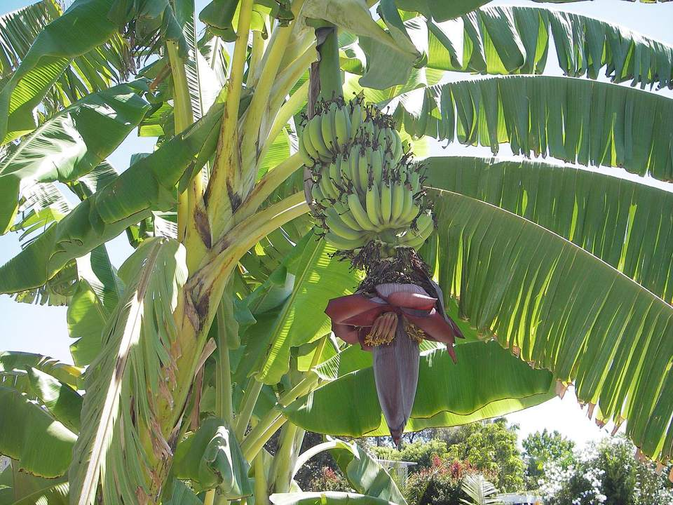 The banana tree (Musa) is considered to be the world's largest herb