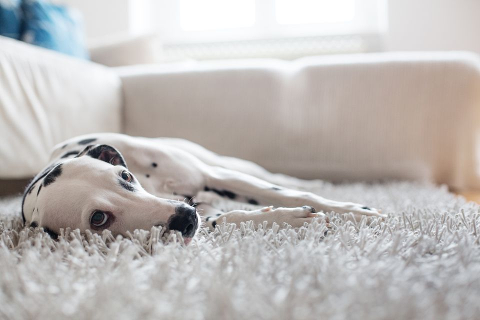 How To Remove Pet Stains And Odors From Clothes Carpet