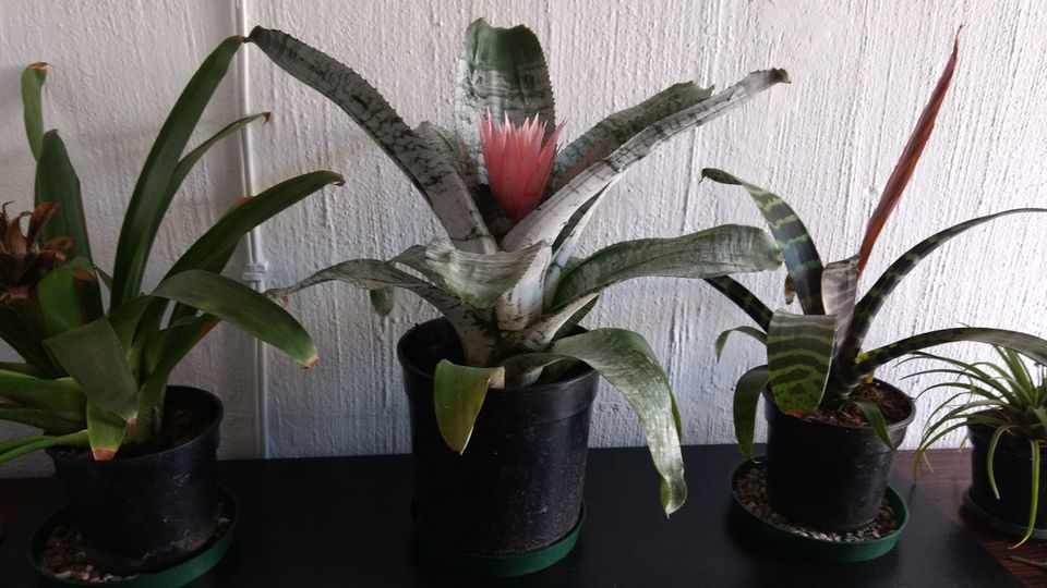 Bromeliads, Center one in bloom, pink Flower