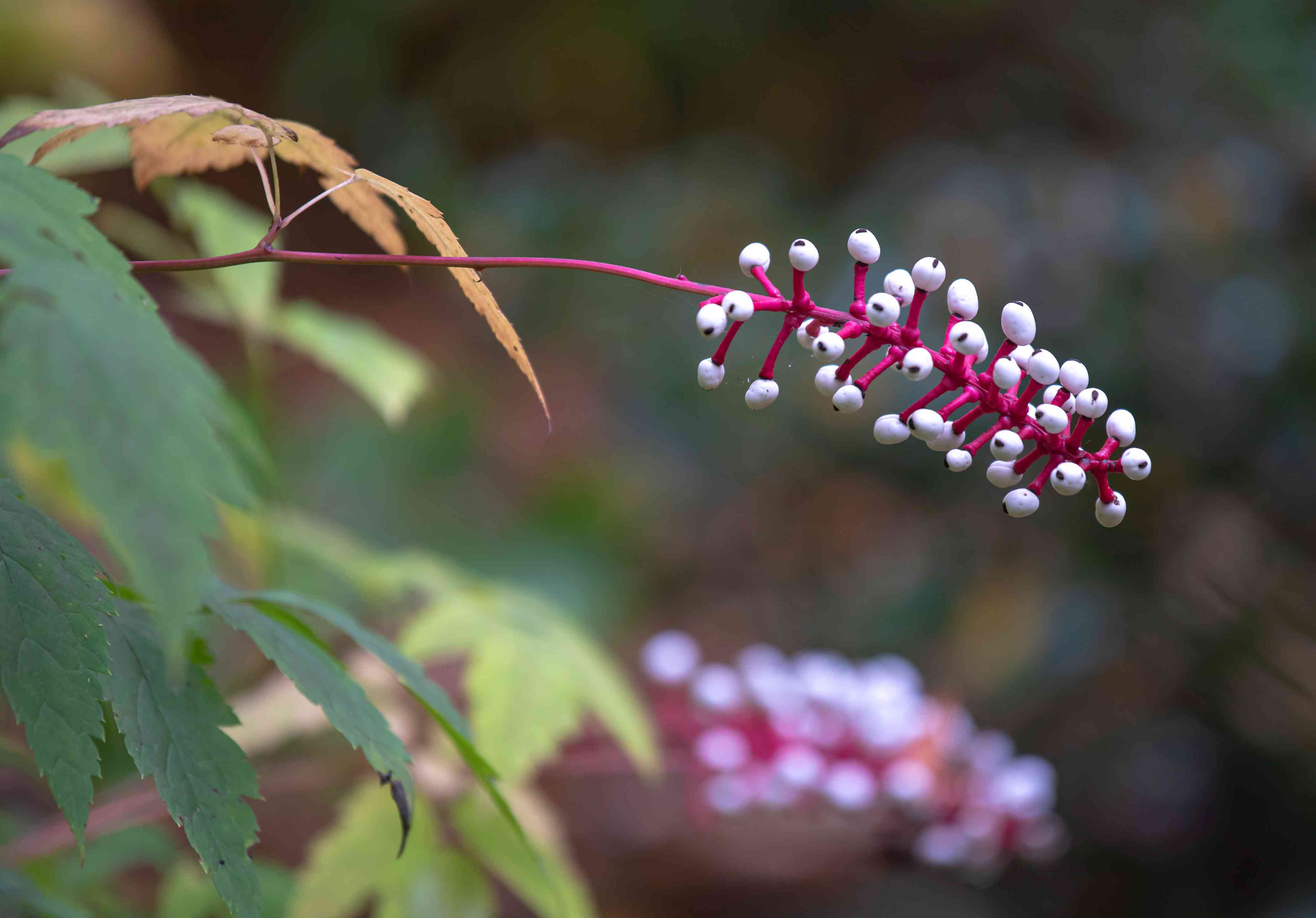 White baneberry plant with pink stem extending with small white berries
