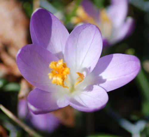 Imagen de flores de azafrán de lavanda