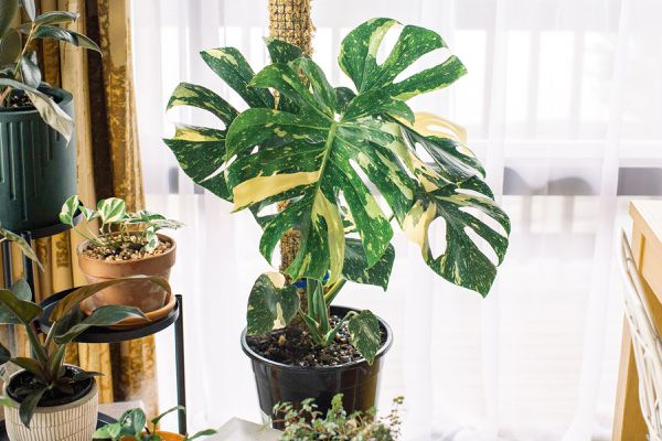 Variegated monstera deliciosas plant with two-toned green an white leaves in front of window