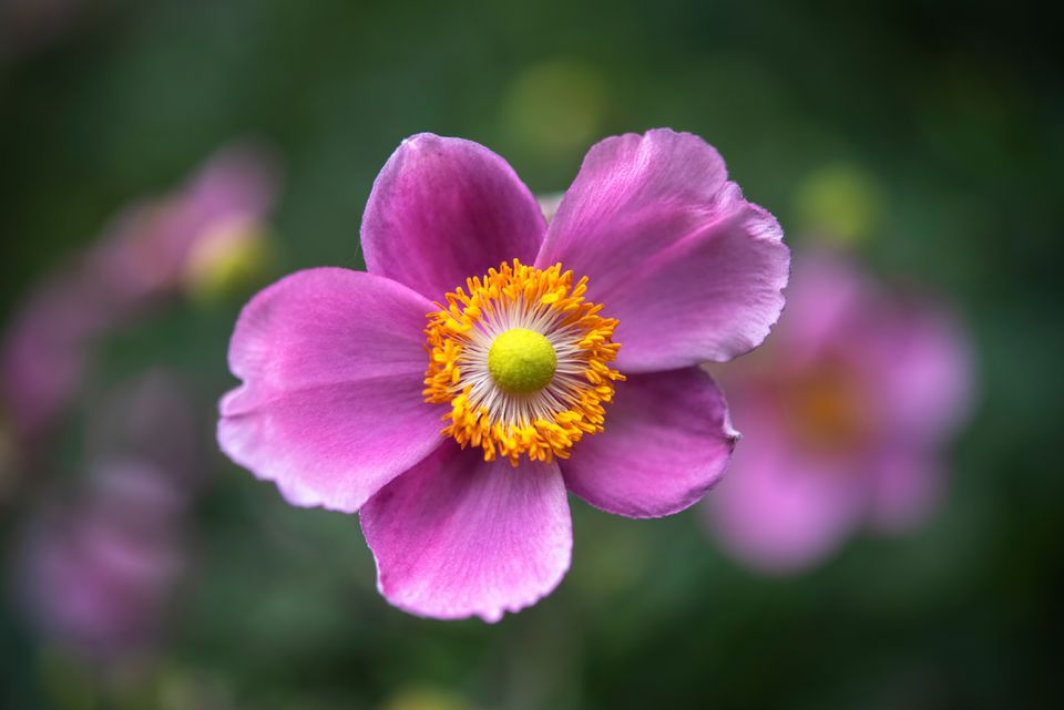 'Hadspen abundance' anemone with dark pink petals with yellow anthers and centers closeup