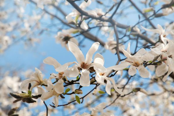 Star magnolia tree branch with white flowers