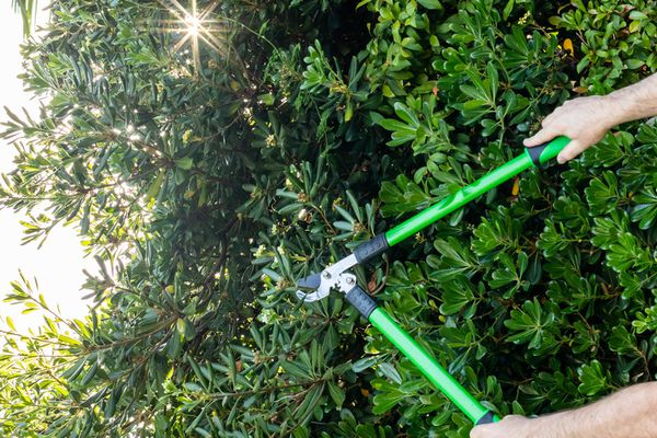 Shrub being pruned with green loppers and 1/3 rule