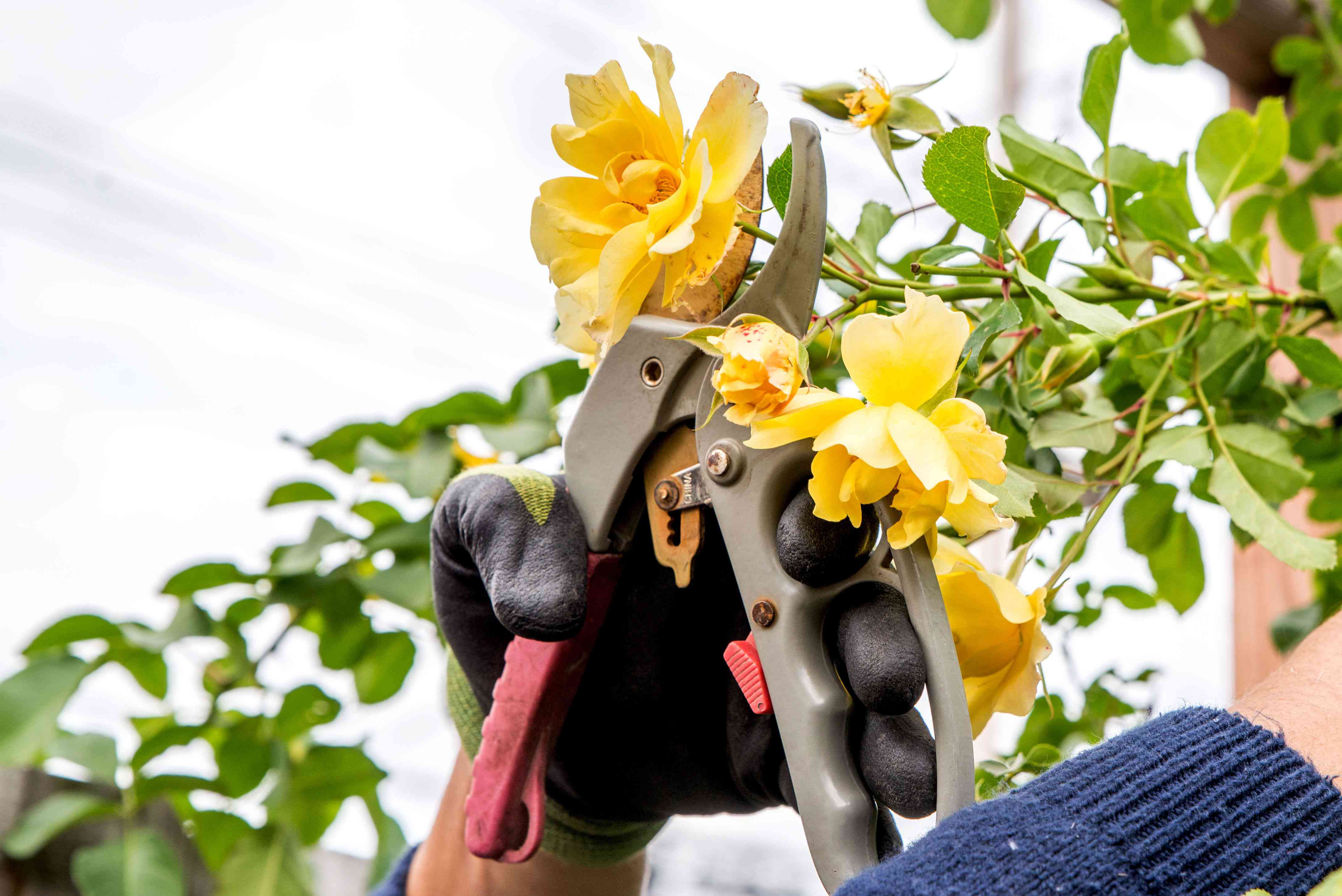 Rose bush branch with yellow flowers being cut with hand-held sheers