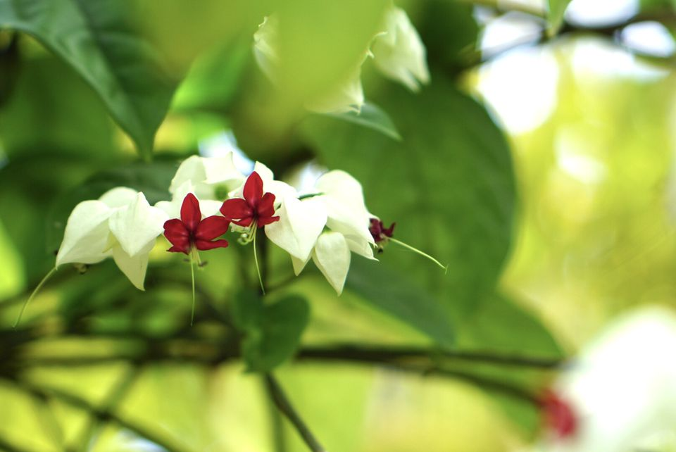 Bleeding heart vine with white and red flowers