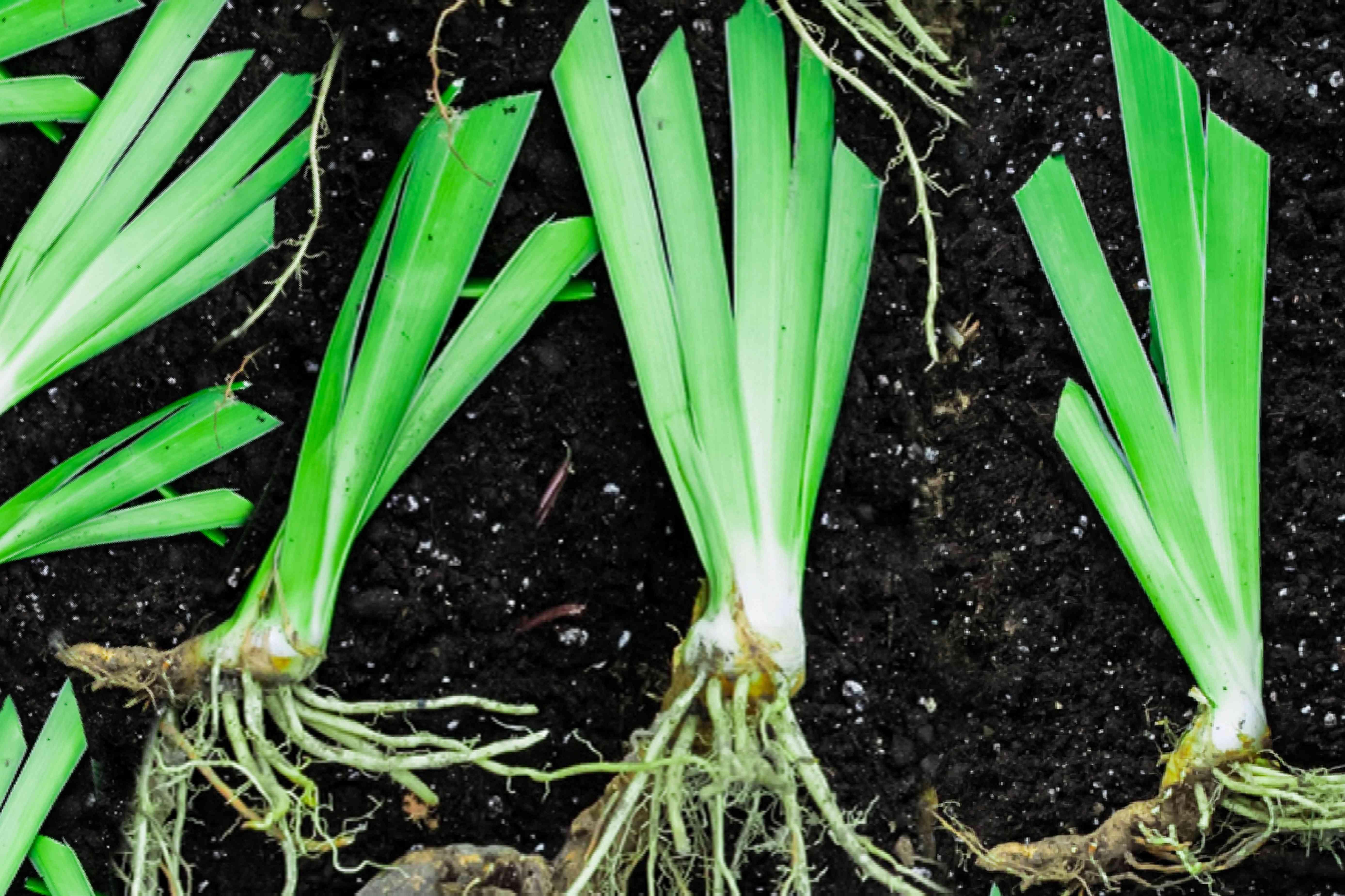 dividing irises