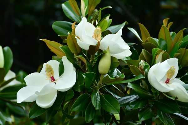 Close up of the flowers of the Magnolia grandiflora, commonly called Southern magnolia or Bull bay