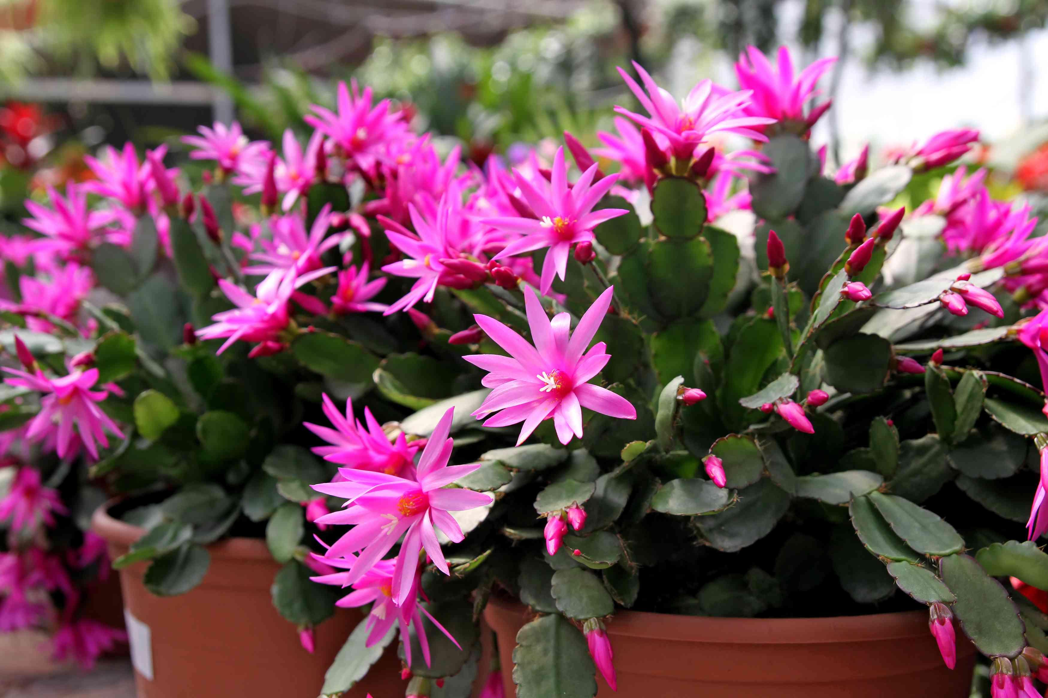 Easter Cactus Schlumbergera Gaertneri