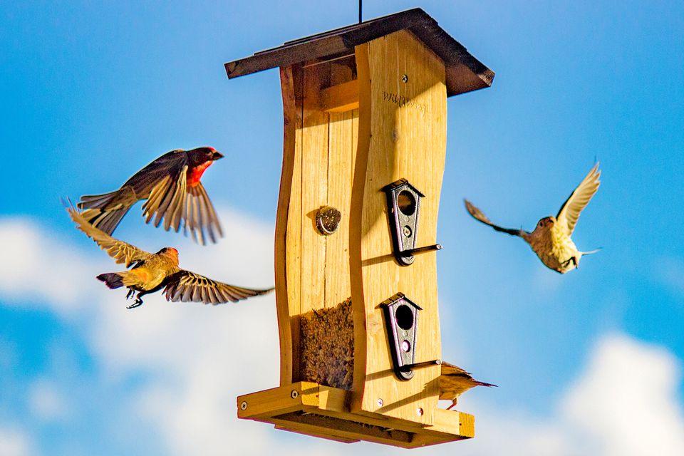 House Finches at a Bird Feeder