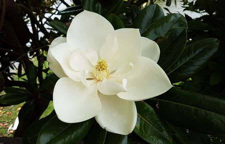 How To Grow The Sweetbay Magnolia Tree