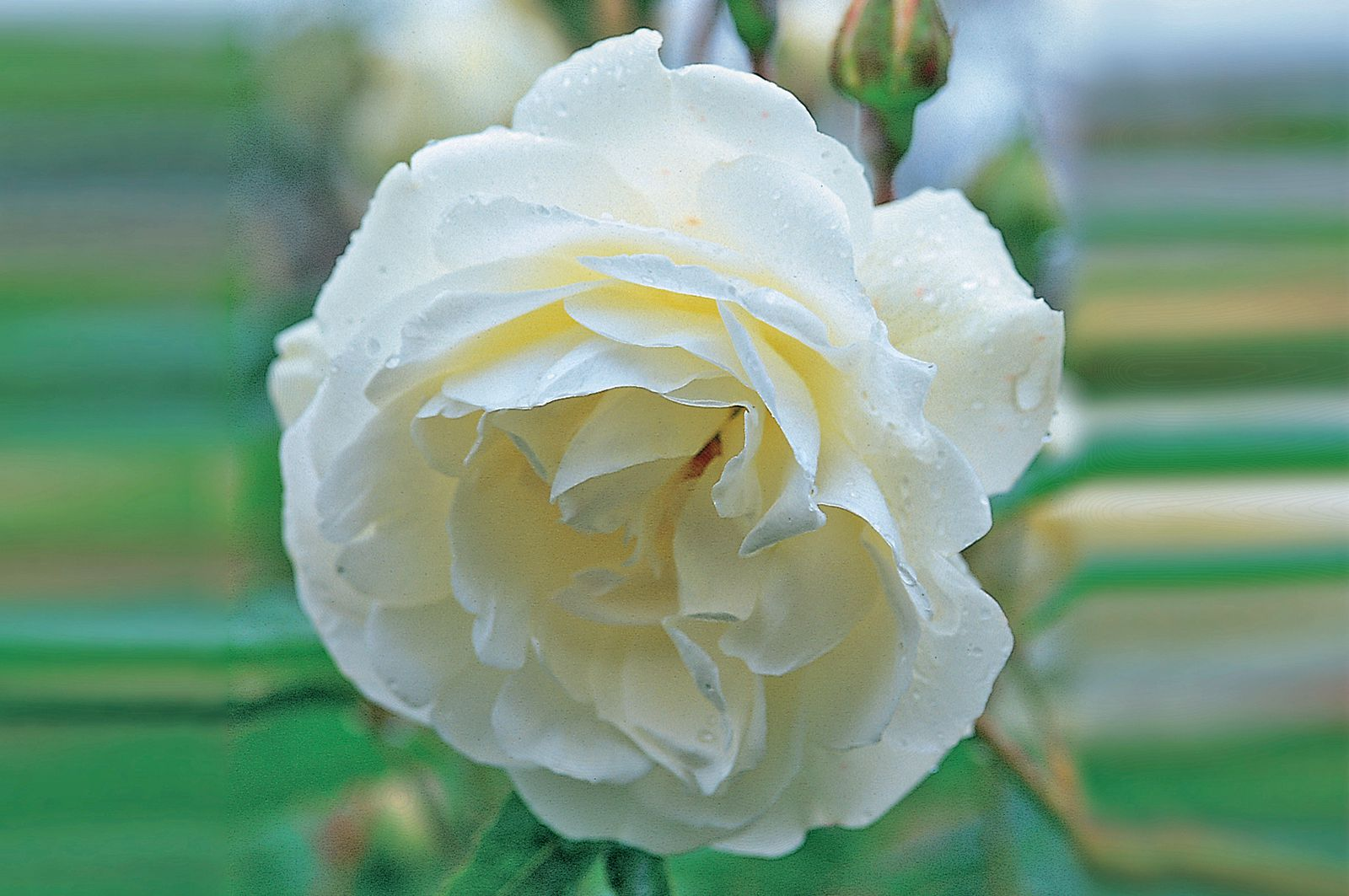 18 best roses for a shaded garden mightylinksfo