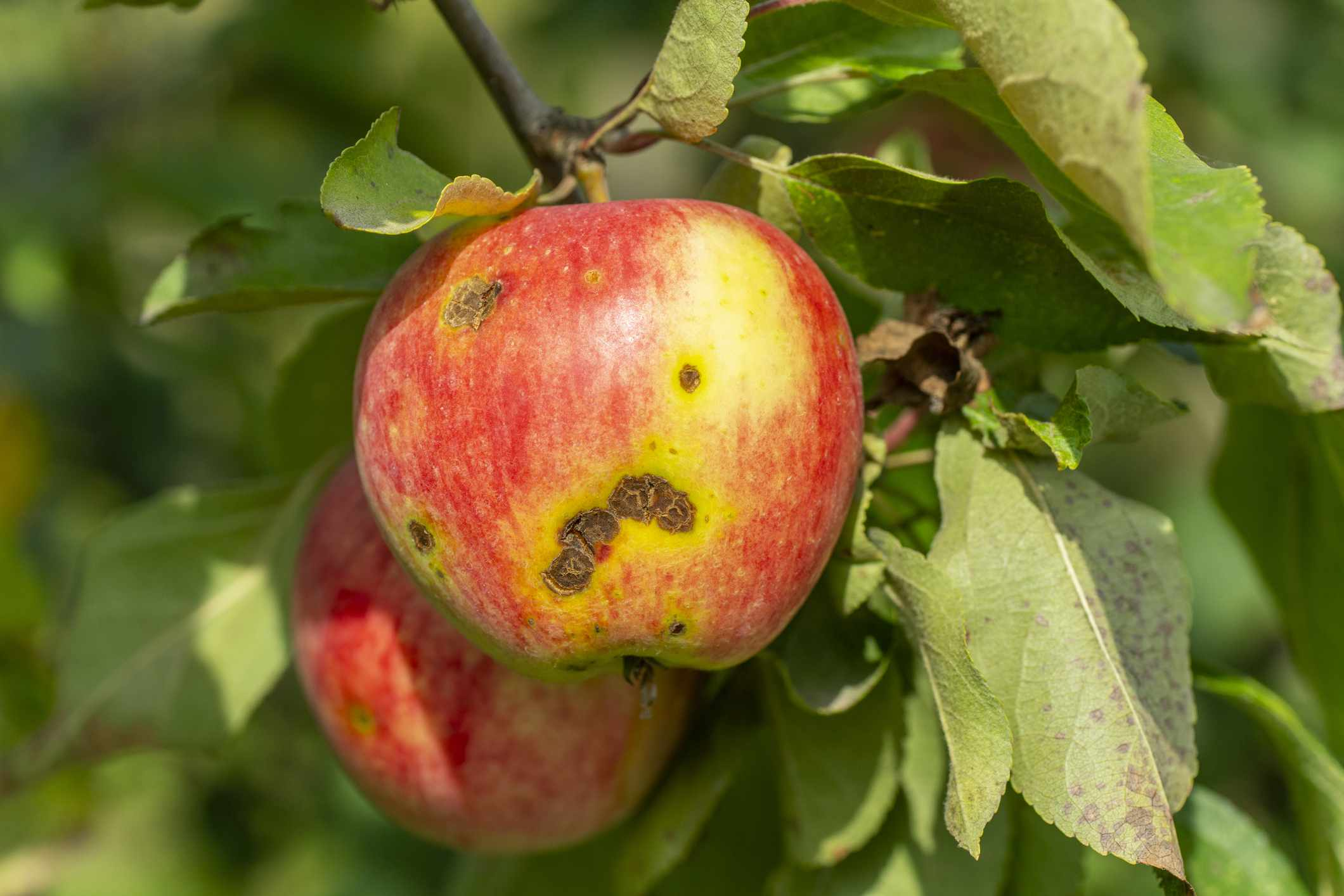 Lesions on apple infected with apple scab (Venturia inaequalis)