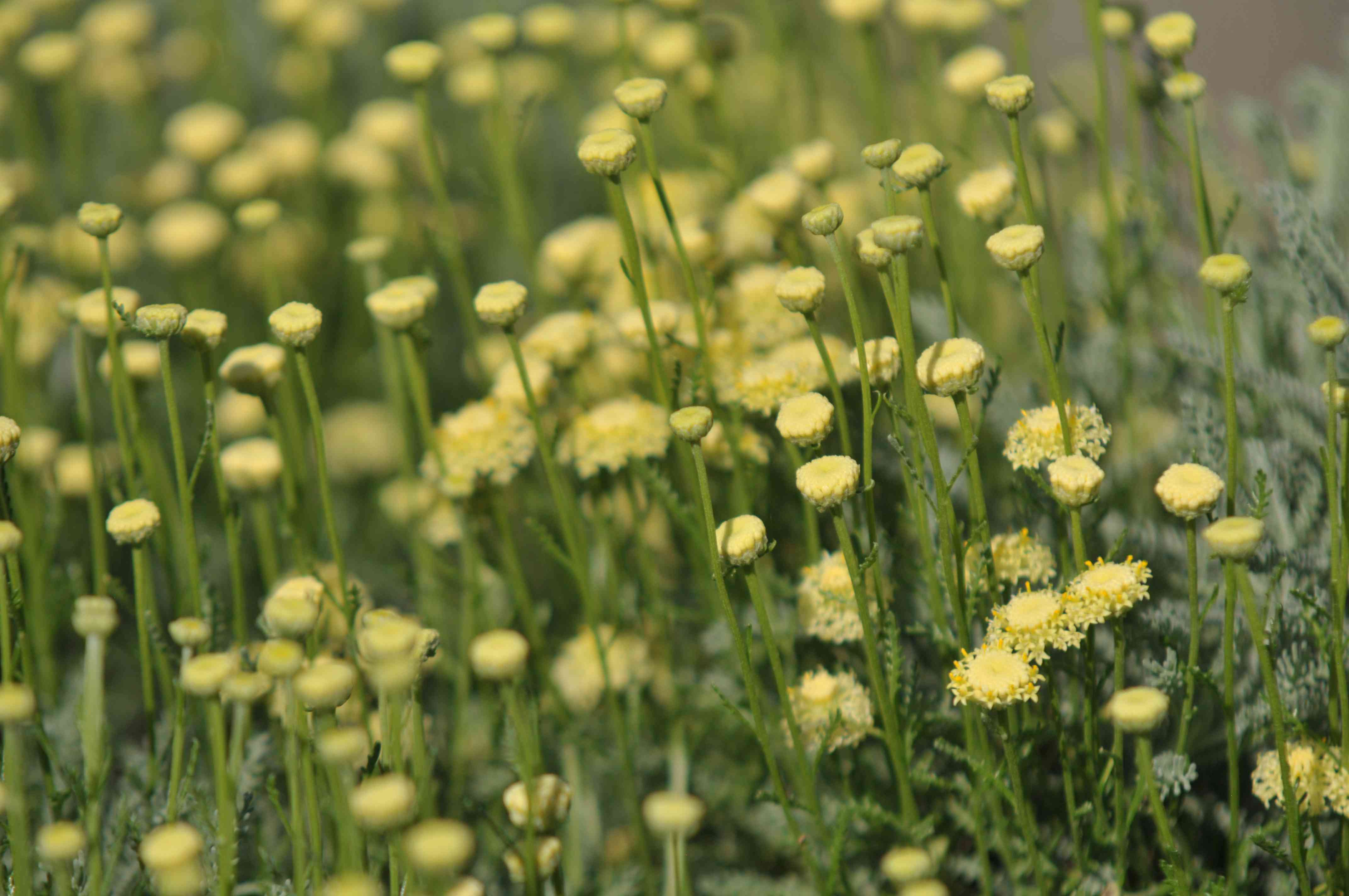 Lavender cotton plant with small yellow flower blooms closeup