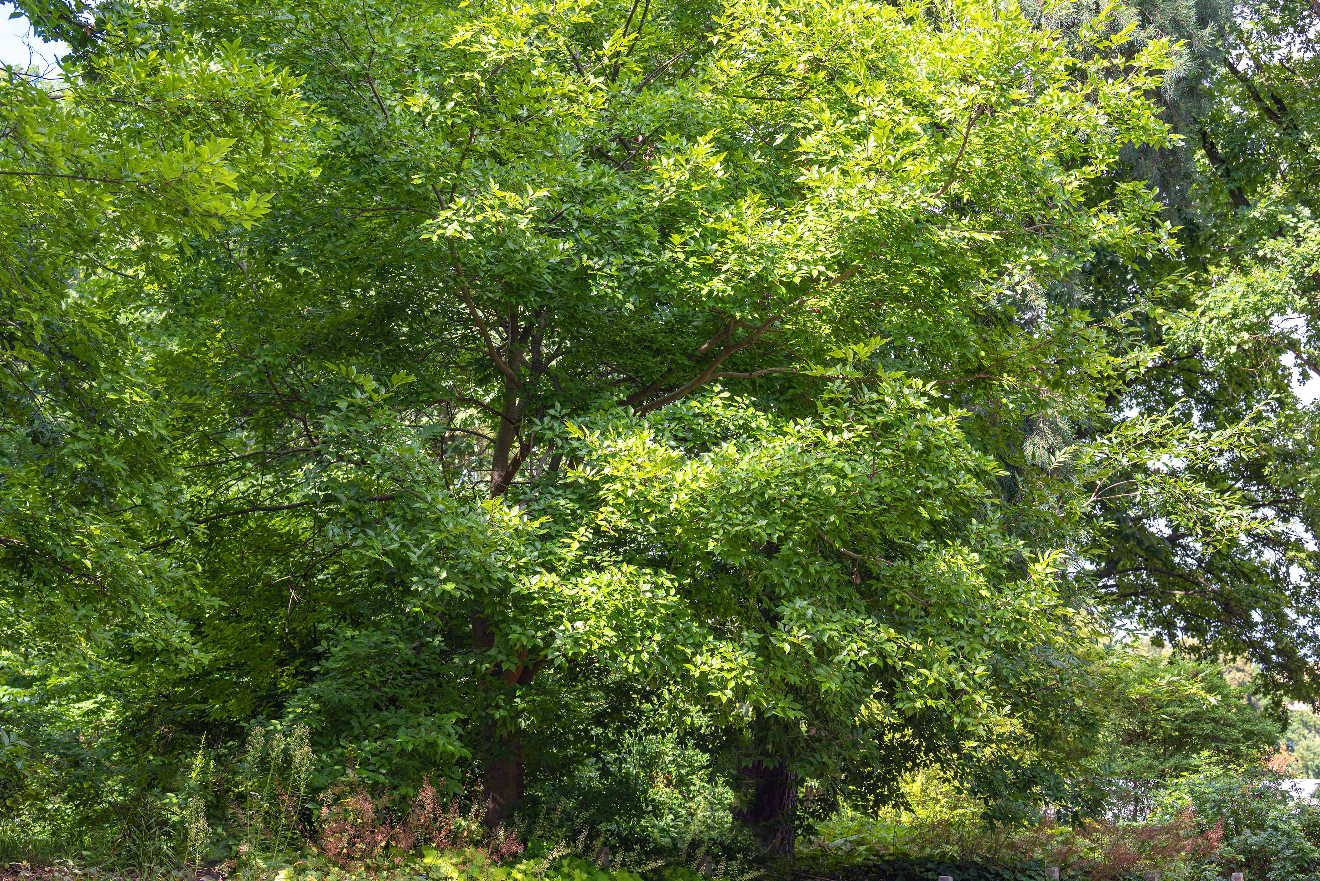 Netleaf hackberry tree with bright green leaves in wooden area
