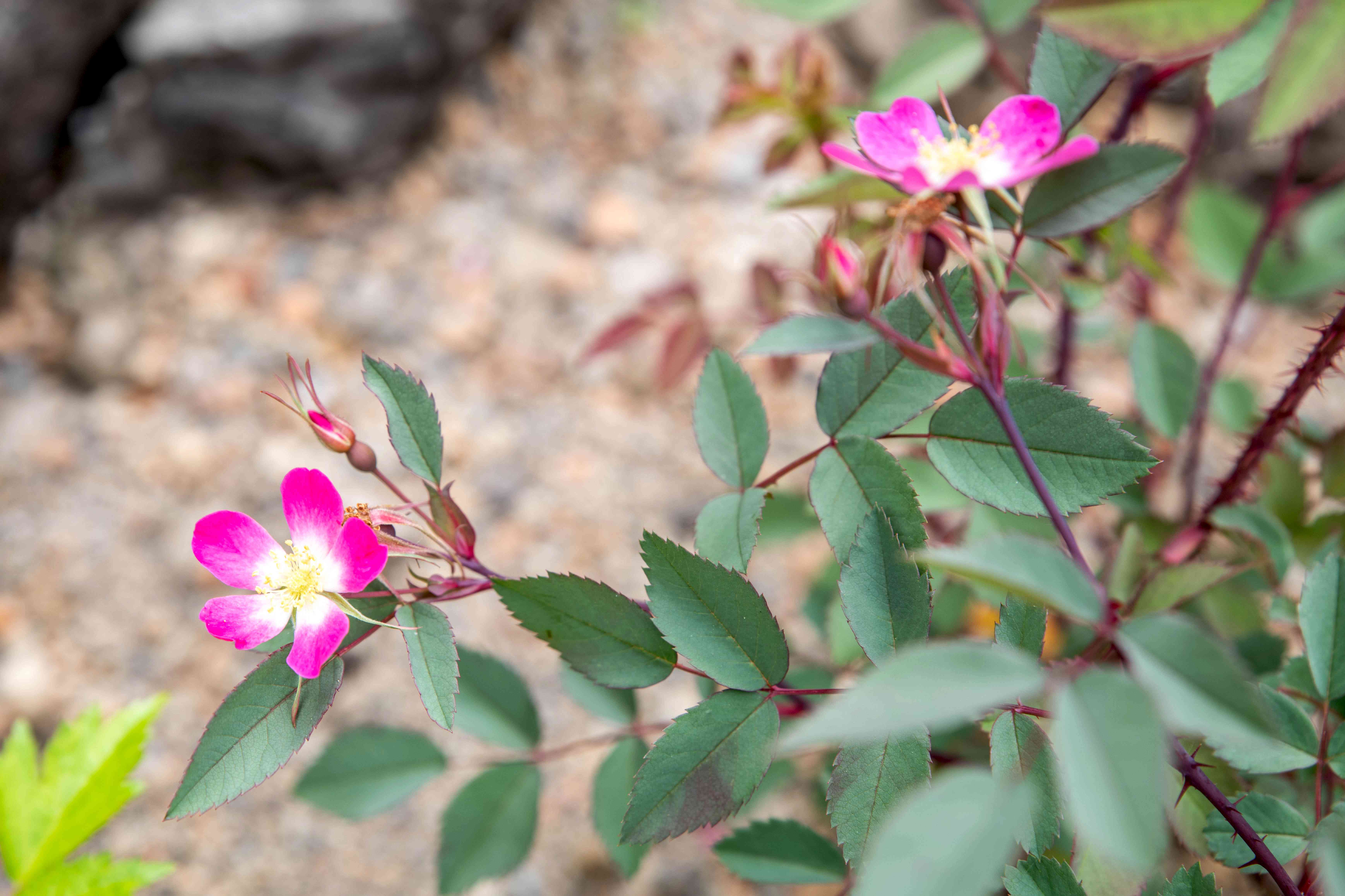 Redleaf rose plant with pink flowers on end of red stems and blue-green leaves
