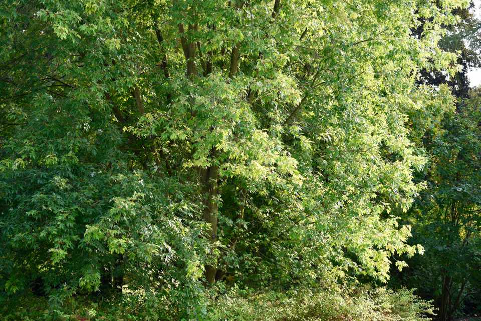Silver maple tree with tall upright branches full of bright green leaves