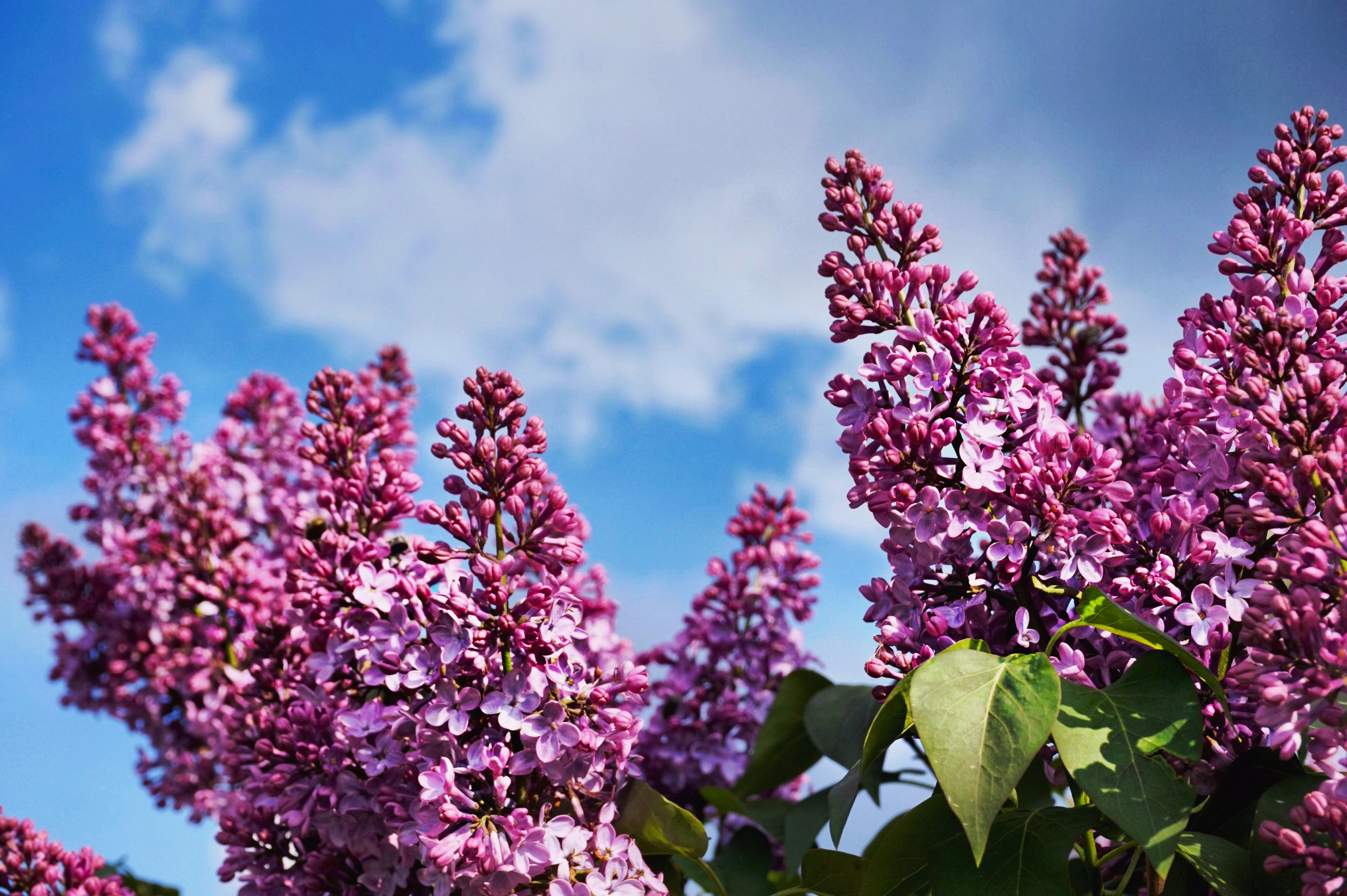 Lilacs blooming in purple against blue sky.