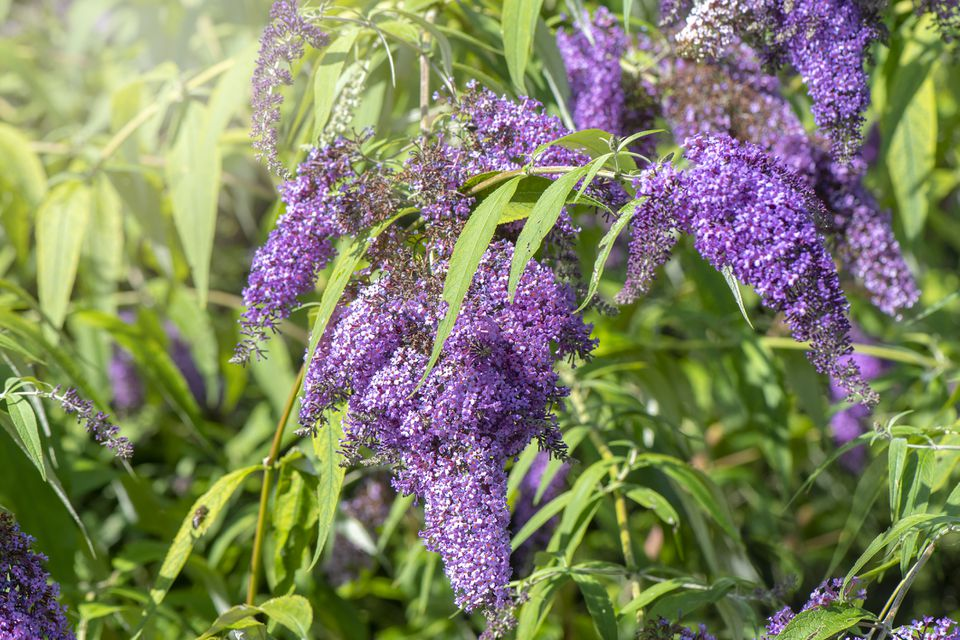 Close-up image of a flowering Buddleia (butterfly bush)