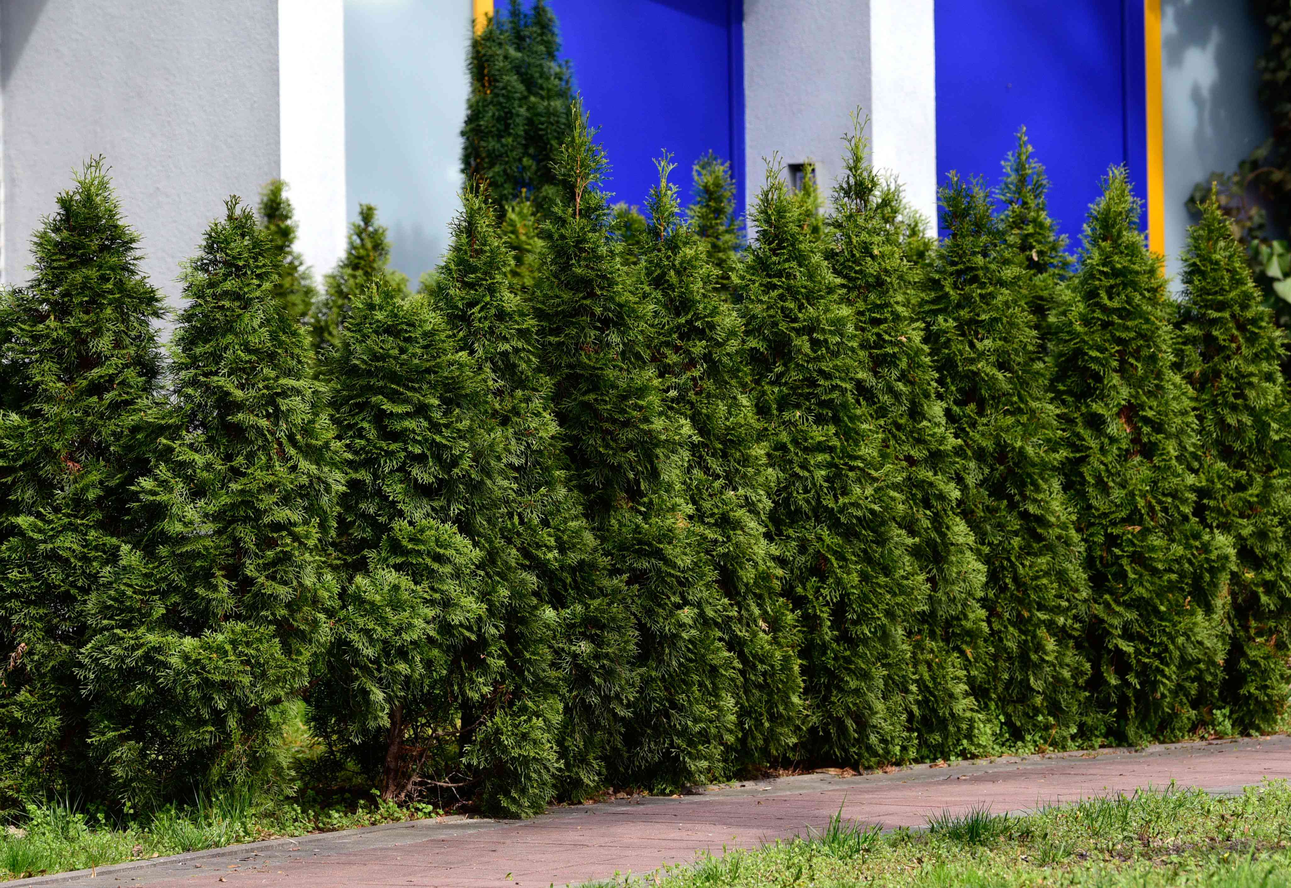 Arborvitae dense bushes trimmed in a pyramidal form next to white and blue building
