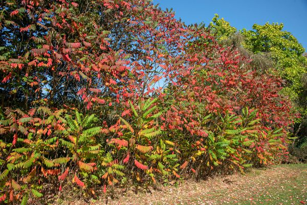Staghorn sumac shrub with tall branches forming wall of green, red and yellow leaves