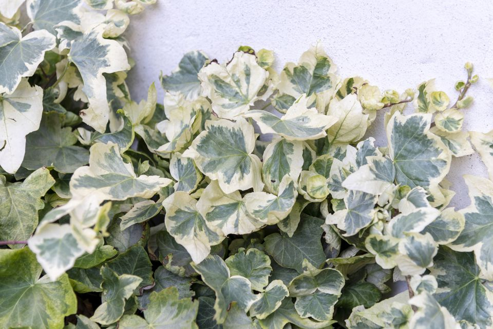 Algerian ivy plant with variegated cream and pale green leaves clustered together