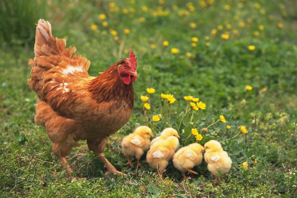 Chicken and Four Chicks on the Grass, High Angle View, Differential Focus, In Focus, Out Focus