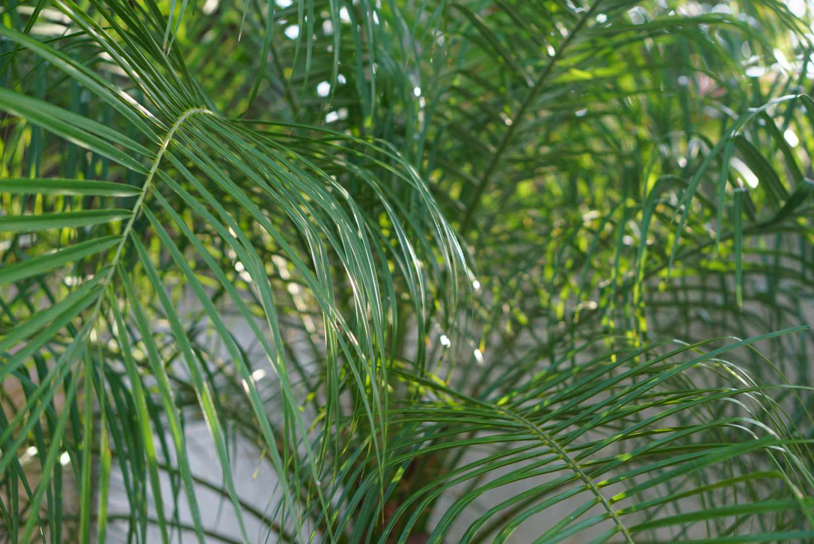 Queen palm with feathery and glossy green fronds closeup