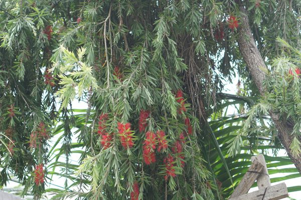 Weeping bottlebrush tree with cascading branches and firework-like red blooms hanging