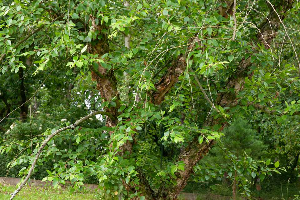 River birch tree with exfoliating bark and covered with green leaves on branches