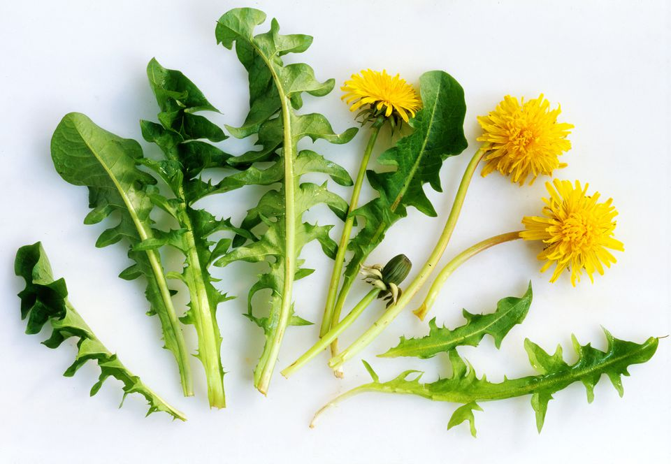 Dandelion stems and leaves