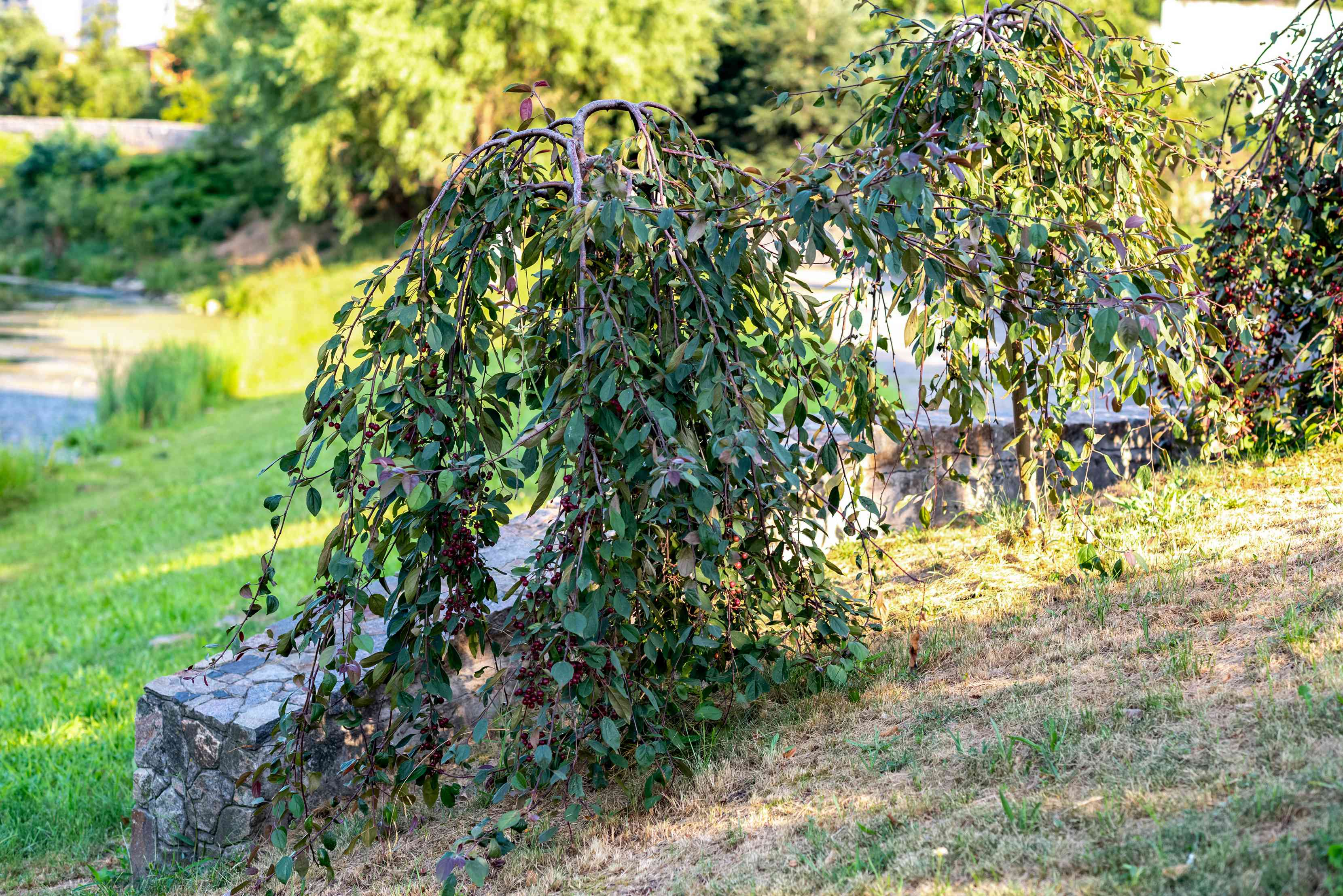 Red chokeberry shrub with drooping branches of oblong leaves near stone wall