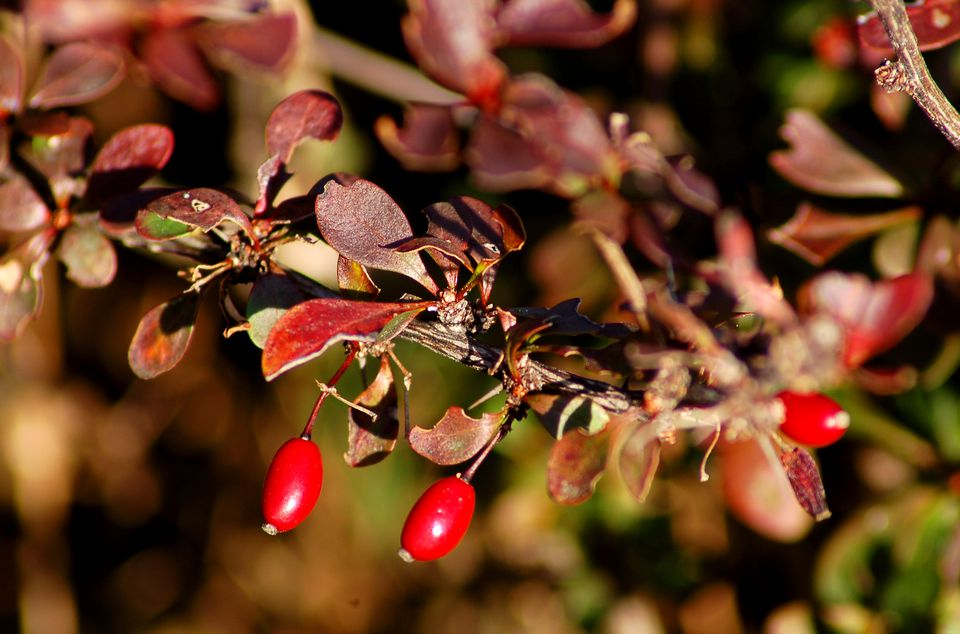 Barberry (image) has thorns. This discourages deer from eating it.