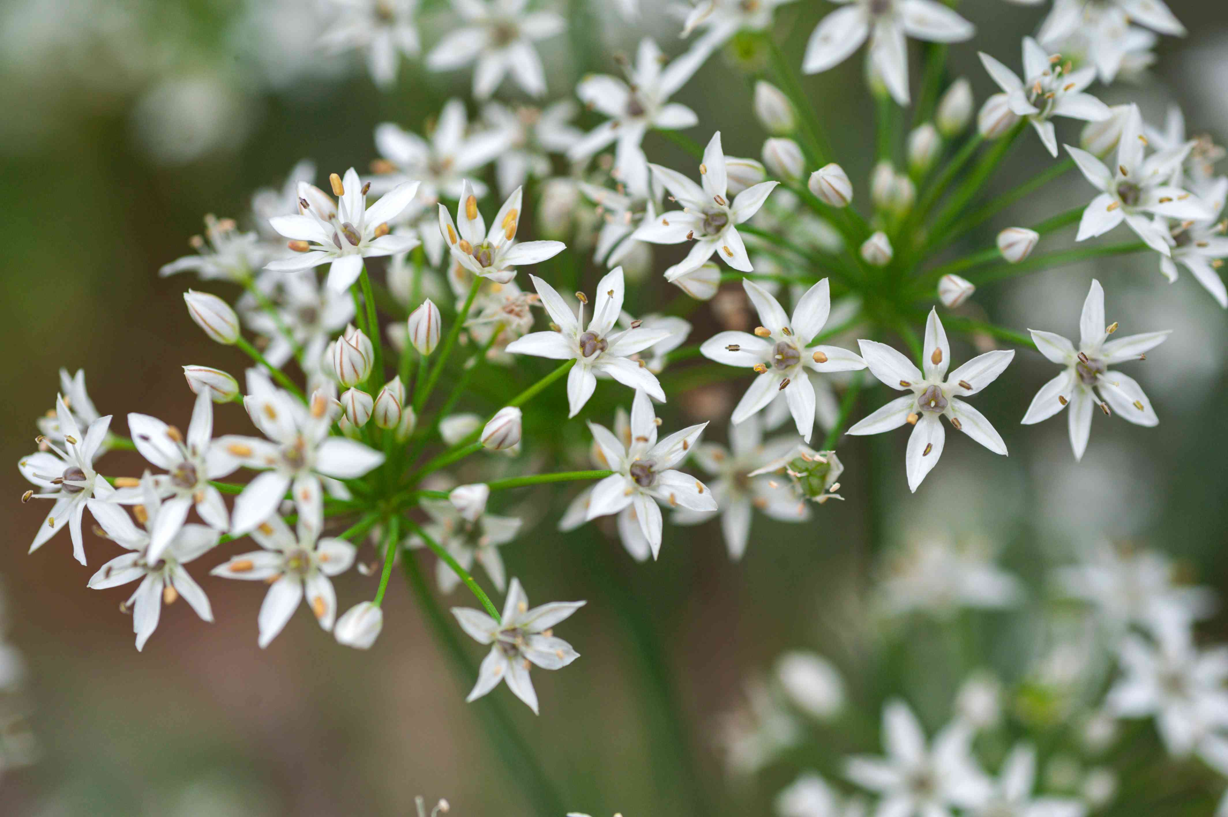 Garlic chives plant with white star-shaped flowers and buds clustered together closeup