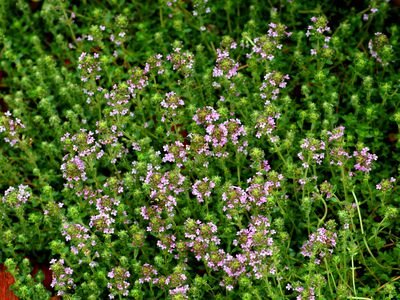 Deer Resistant Perennial Ground Cover Plants