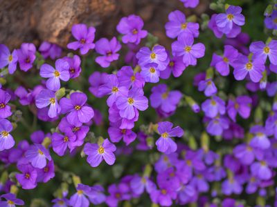 Aubrieta with purple flowers nestled on rock