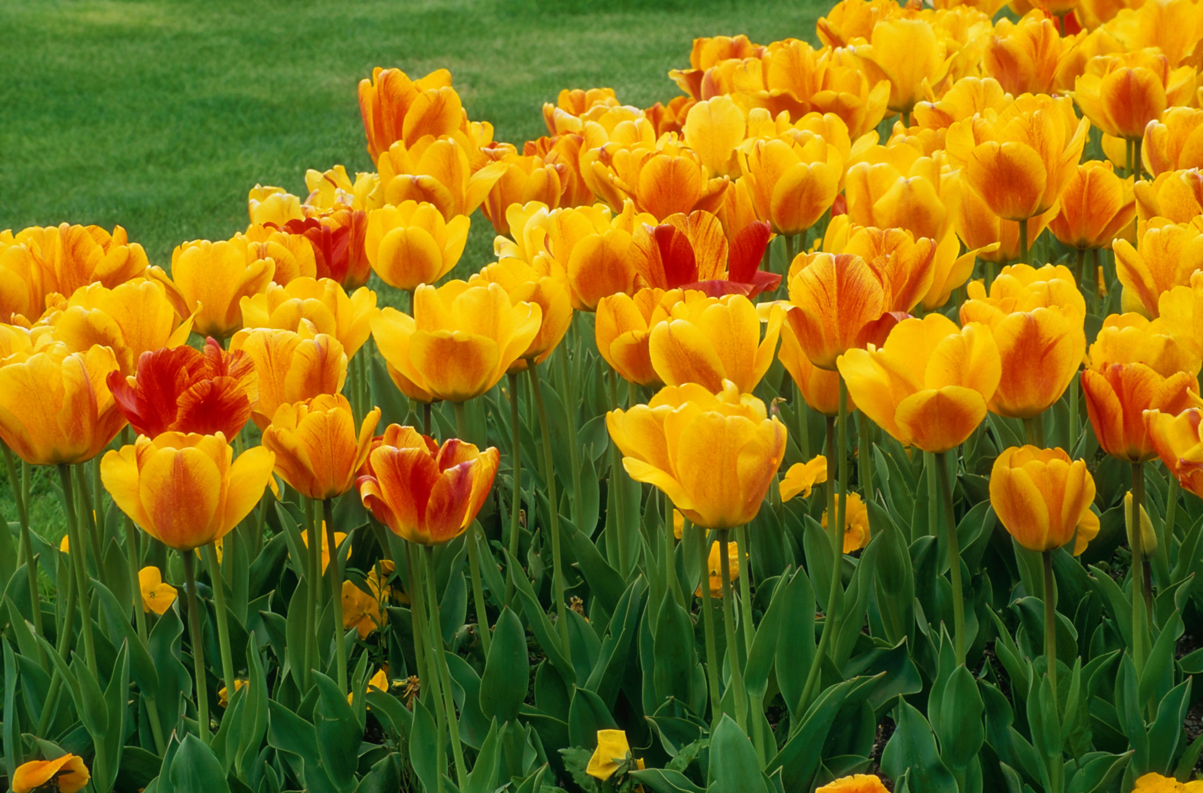 tulipa 'gudoshnik' (darwin hybrid tulip), yellow & red flower, april
