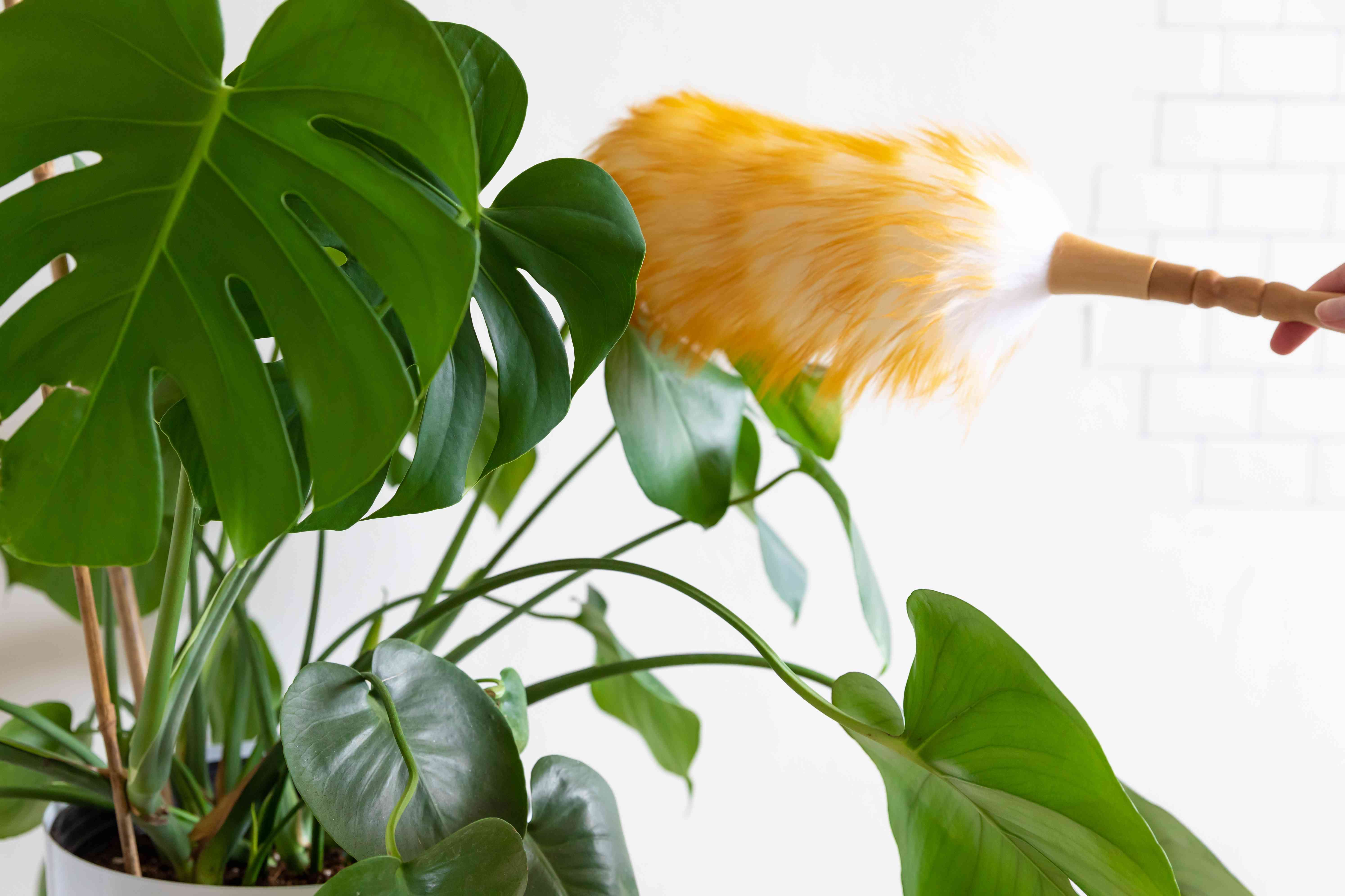 person using a brush to remove dust from a plant