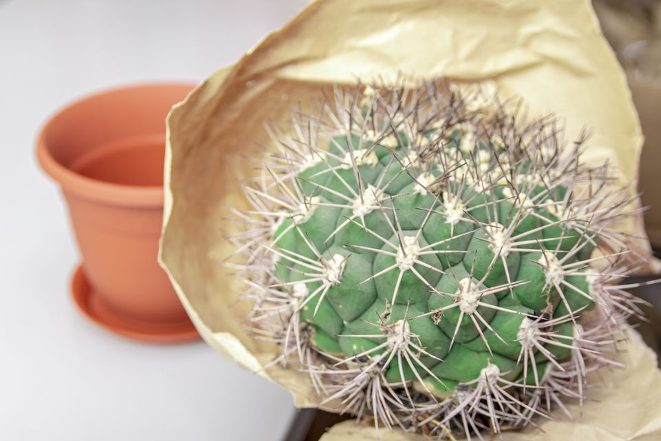 A cactus removed from its pot.